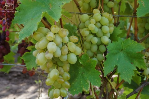 Сорт винограда Алекса описание, фото, видео
