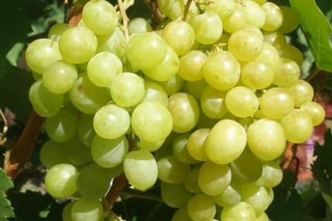 Виноград сорт Алешенькин - описание, фото, видео