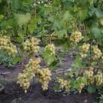 Виноград сорт Благовест - описание, фото, видео
