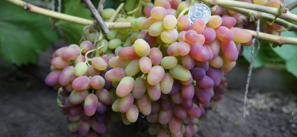 Виноград сорт Арочный - описание, фото, видео