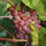 Виноград сорт Азалия - описание, фото, видео