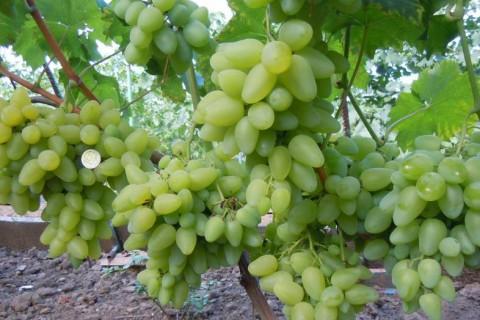 Виноград сорт Бажена - описание, фото