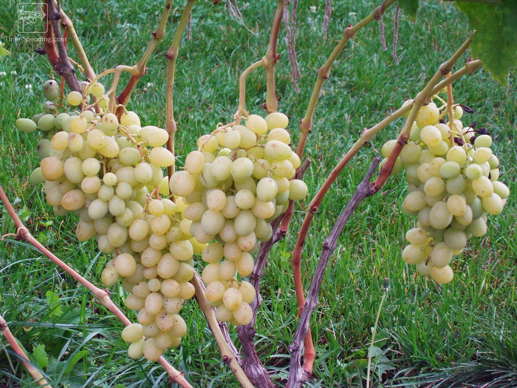 сорт винограда благовест фото является, одной