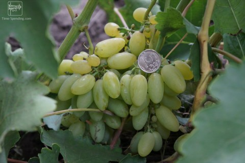 Виноград сорт Элегант сверхранний - описание, фото, видео