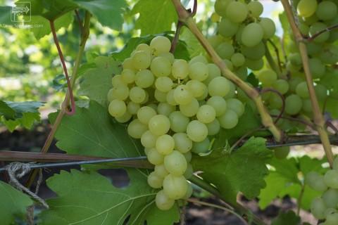 Виноград сорт Кеша - описание, фото, видео