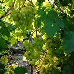 Сорт винограда Восторг улучшенный описание, фото, видео