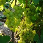Сорт винограда Кеша описание, фото, видео