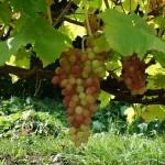 Виноград сорт Кишмиш Лучистый - описание, фото, видео