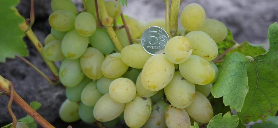 Виноград сорт КоКл белый - описание, фото, видео