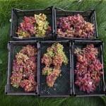 Виноград сорт Лора / Флора - описание, фото, видео