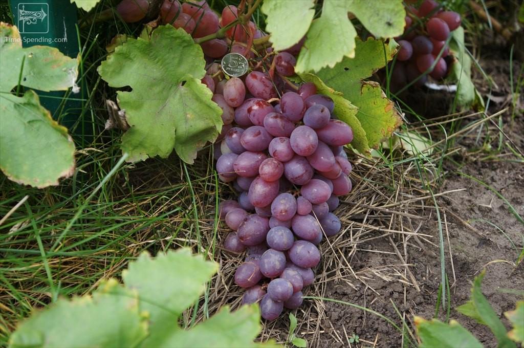 Виноград кеша розовый описание сорта фото