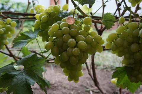 Виноград сорт Прелесть - описание, фото, видео