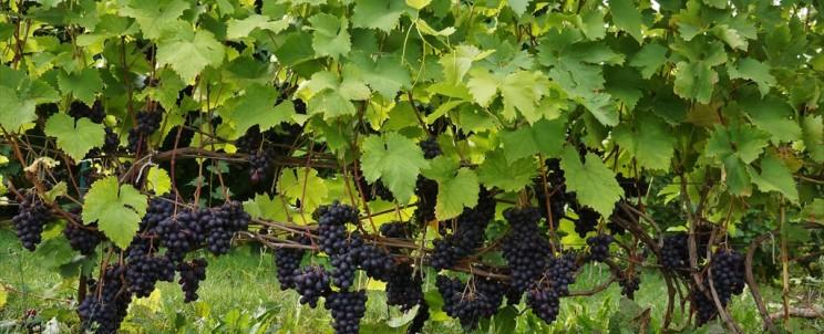 Сорт винограда Престиж описание, фото, видео