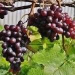 Виноград сорт Престиж - описание, фото, видео