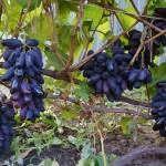 Виноград сорт Ромео - описание, фото, видео