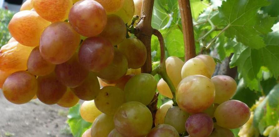 Виноград сорт Розмус - описание, фото