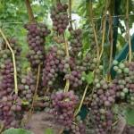 Виноград сорт Русский конкорд - описание, фото, видео