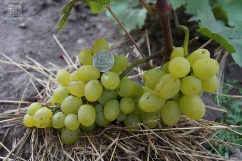 Виноград сорт Супер-экстра - описание, фото, видео