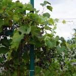 Виноград сорт Таежный - описание, фото, видео