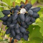 Сорт винограда Викинг описание, фото, видео