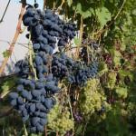 Виноград сорт Викинг - описание, фото, видео