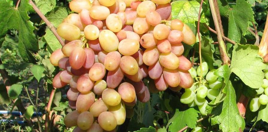 Виноград сорт Виктор - описание, фото