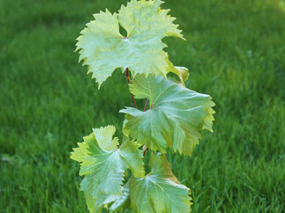 Саженцы винограда (САМОВЫВОЗ)