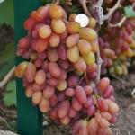 Виноград сорт Юбилей Новочеркасска - описание, фото, видео