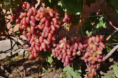 Сорт винограда Юбилей Новочеркасска описание, фото, видео