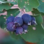 Ирга крупноплодная канадская в Ульяновске и Старой Майне