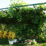 Сорт винограда Альфа описание фото видео, беседочный виноград, виноград на беседку