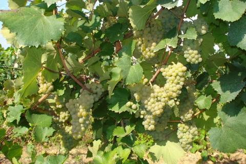 Сорт винограда Алиготе описание фото, винный сорт винограда, технический сорт винограда