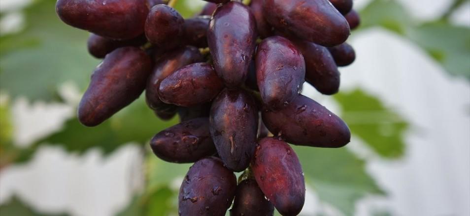 Сорт винограда Аметист Новочеркасский описание фото видео
