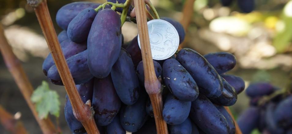 Сорт винограда Изюминка описание фото видео