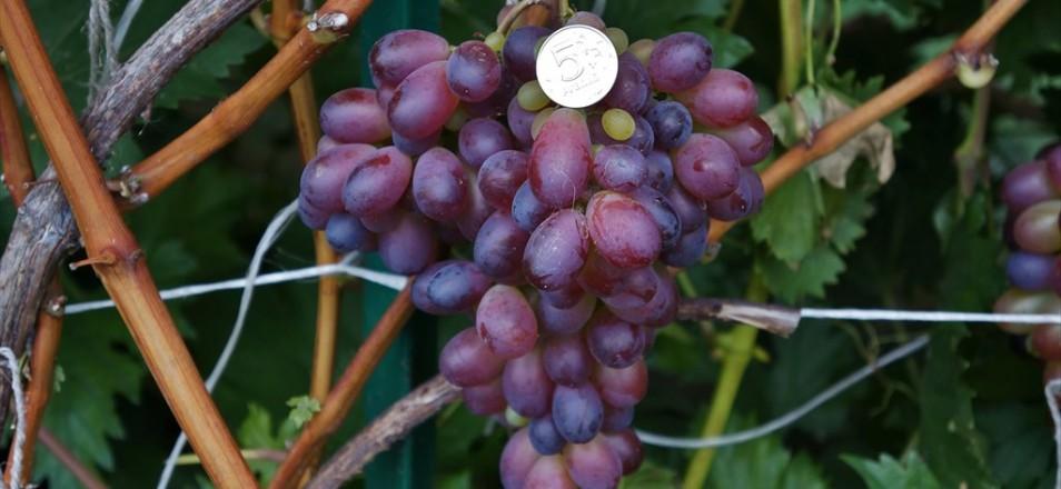 Виноград сорт Марадона описание фото видео