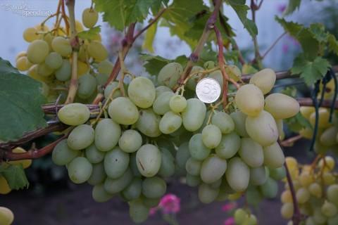 Виноград сорт Монарх описание фото видео