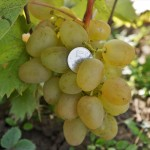 Сорт винограда Монарх описание, фото, видео