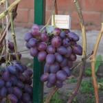 Виноград сорт Низина описание фото видео
