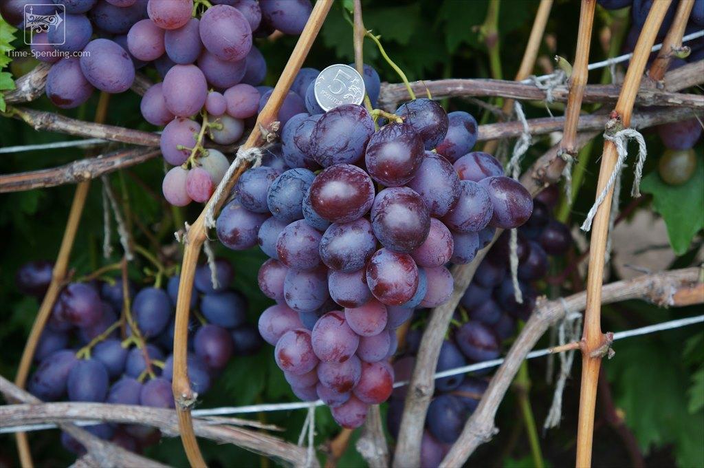 течение сорт винограда низина куст с урожаем фото отличие, как