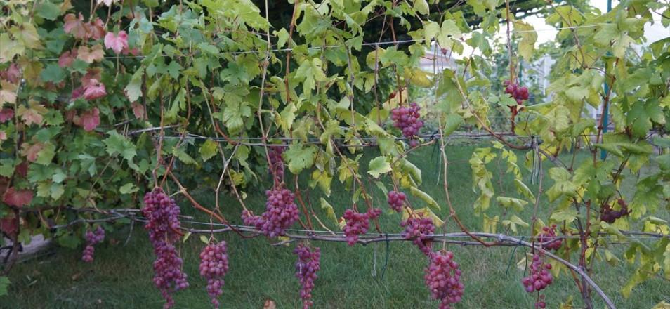 Виноград сорт Сестра Кишмиша лучистого описание фото видео