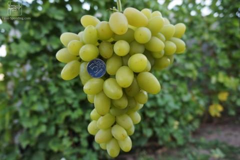 Сорт винограда Сеянец продюсера описание фото видео