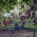 Виноград сорт Сфинкс описание фото видео