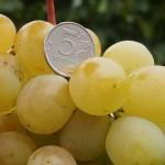 Сорт винограда Талисман описание, фото, видео