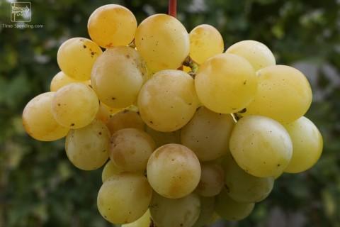 Сорт винограда Супер Кеша 1 описание, фото, видео