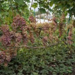 Сорт винограда Украинка описание, фото, видео