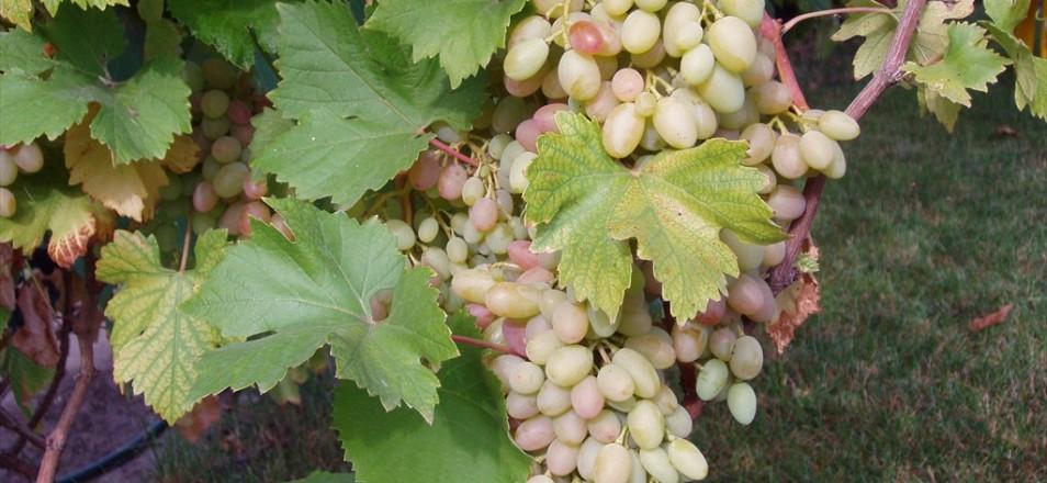 Сорт винограда Водограй описание, фото, видео