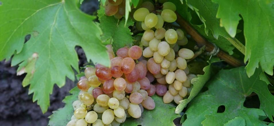 Сорт винограда Мечта описание фото видео