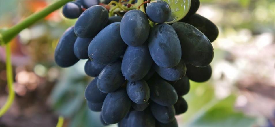 Сорт винограда Кодрянка описание фото видео