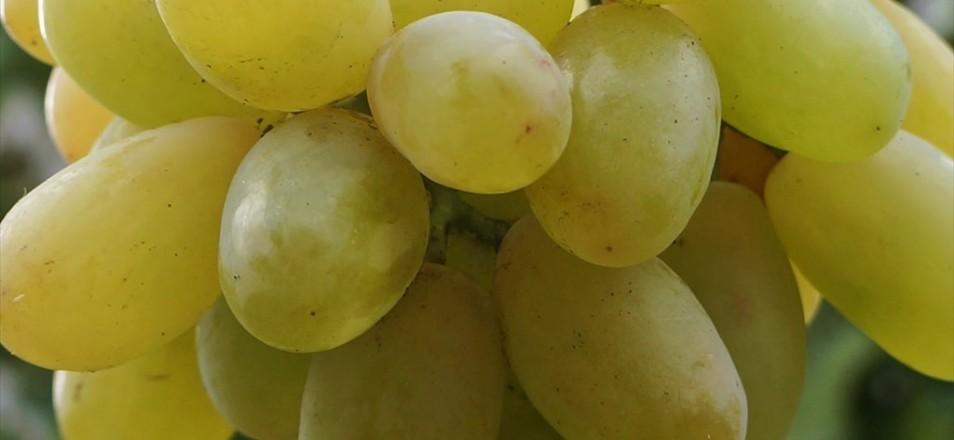 Сорт винограда Ланселот описание, фото, видео