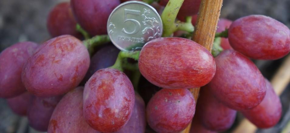 Виноград сорт Ливия описание фото видео